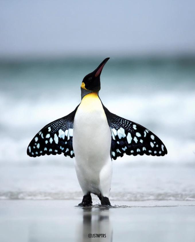 <p>Sự kết hợp hoàn hảo giữa chim cánh cụt và bộ cánh của loài bướm đêm.</p>