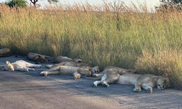 Đàn sư tử tràn ra đường ngủ trưa vì vắng người
