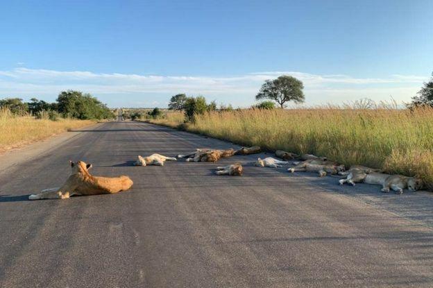 Đàn sư tử nằm ở đường nhựa bên công viên.