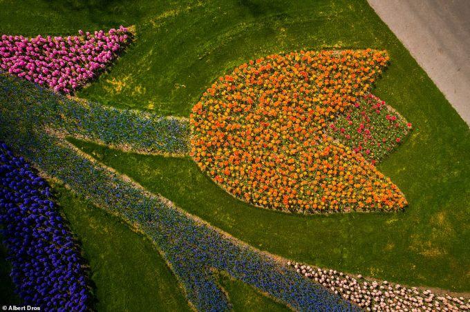 """<p class=""""Normal""""><span lang=""""vi"""" xml:lang=""""vi"""">Albert đã sử dụng máy bay không người lái để chụp hình ảnh này, những bông hoa đầy màu sắc được trồng theo hình hoa tulip khổng lồ.</span></p>"""