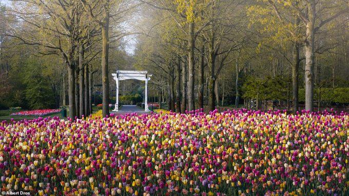 """<p class=""""Normal"""">Những bông hoa được trồng tại vườn vào đầu tháng 10 và thường được hoàn thành vào tháng 12. Hoa bắt đầu nở vào mùa xuân.</p>"""