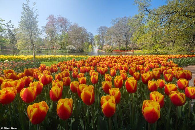 """<p class=""""Normal"""">Hoa tulip màu cam bao quanh một hồ nướcthanh bình, có một đài phun nước ở giữa. Tháng 4 là thời điểm tốt nhất để ngắm hoa tulip nở rộ.</p>"""