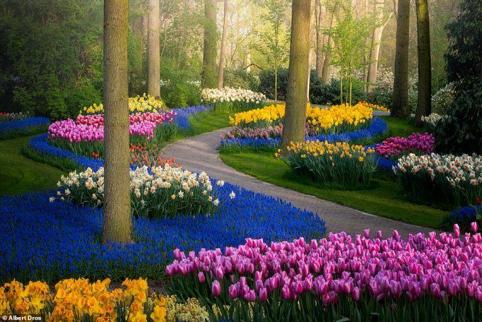 """<p class=""""Normal"""">Mỗi năm, khoảng bảy triệu bông hoađược trồng tại Keukenhof để tạo nênvườn hoa ngập tràn màu sắc.</p>"""