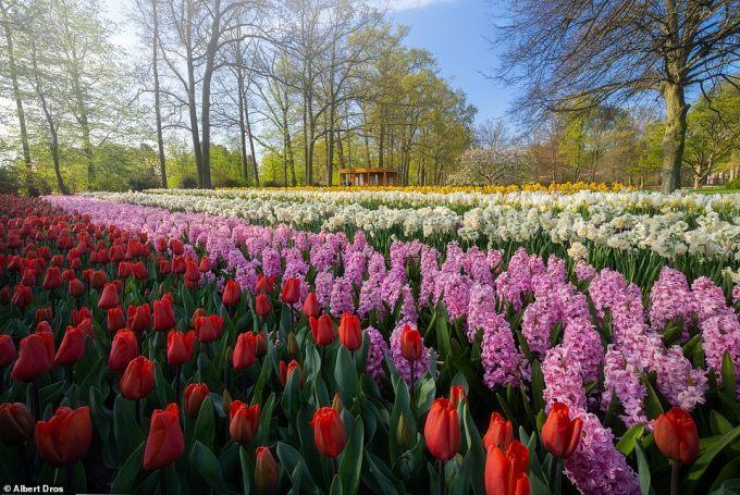 """<p class=""""Normal"""">Năm nay đánh dấu lần đầu tiên sau 71 năm kể từ khi khu vườn mở cửa mà du khách không được phép chiêm ngưỡng những bông hoa nở rộ.</p>"""