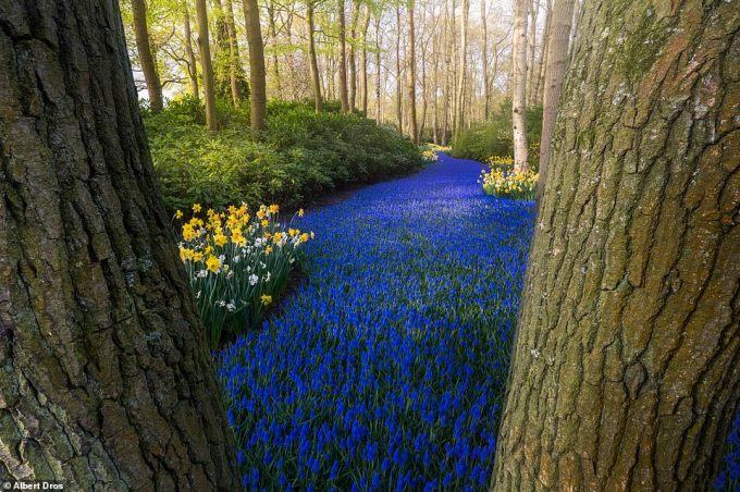 """<p class=""""Normal""""><span>""""Dòng sông xanh"""" nổi tiếng thế giới tại Keukenhof là dải hoa chuông xanh (nho lục bình) xuyên qua những hàng cây.</span></p>"""
