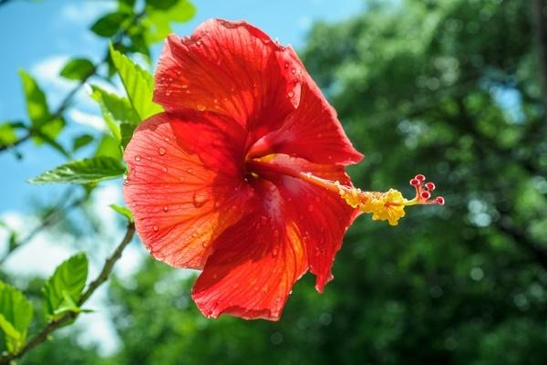Hoa dâm bụt là quốc hoa của nước nào? - 1