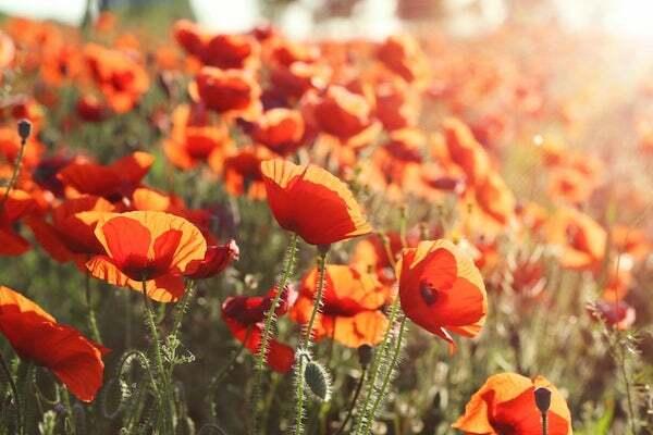 Nếu là 1 bông hoa, 12 cung hoàng đạo sẽ là loài hoa nào? - 2