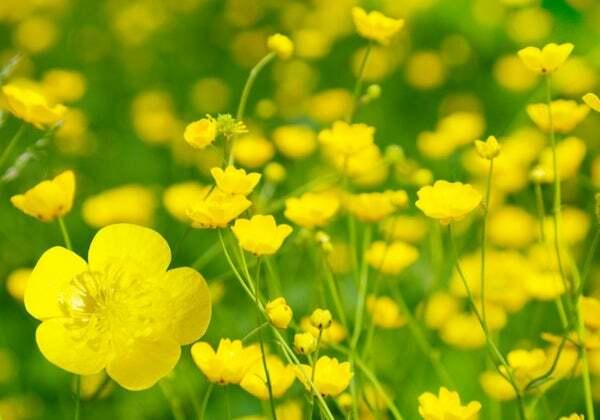 Nếu là 1 bông hoa, 12 cung hoàng đạo sẽ là loài hoa nào? - 10
