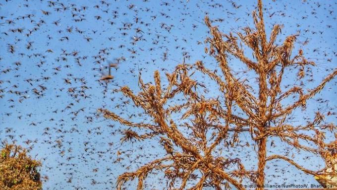 """<p class=""""Normal"""">Theo LWO, một đàn châu chấu dài cảkm chứakhoảng 80 triệu con và có ít nhất 10 bầy như vậy hoành hành ở Ấn Độ.Đàn châu chấu có thể di chuyển quãng đường lớn. Mộtbầy có thể ồ ạt bay tới khoảng 90 dặm trong một ngày.<br /> </p>"""