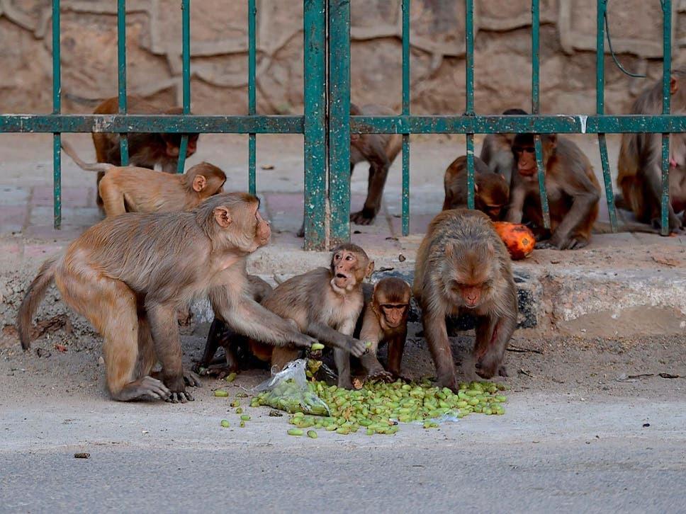 Những con khỉ ăn trái cây trên đường trong thời gian phong tỏa vì Covid-19 ở New Delhi, Ấn Độ. Ảnh: AFP.