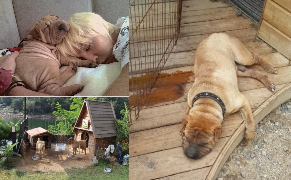 Từ một chú chó sang chảnh, giờ Gaho bị xích và không được cắt tỉa móng.