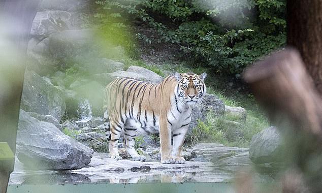 Nhân viên sở thú bị hổ Siberia giết chết trước mặt du khách